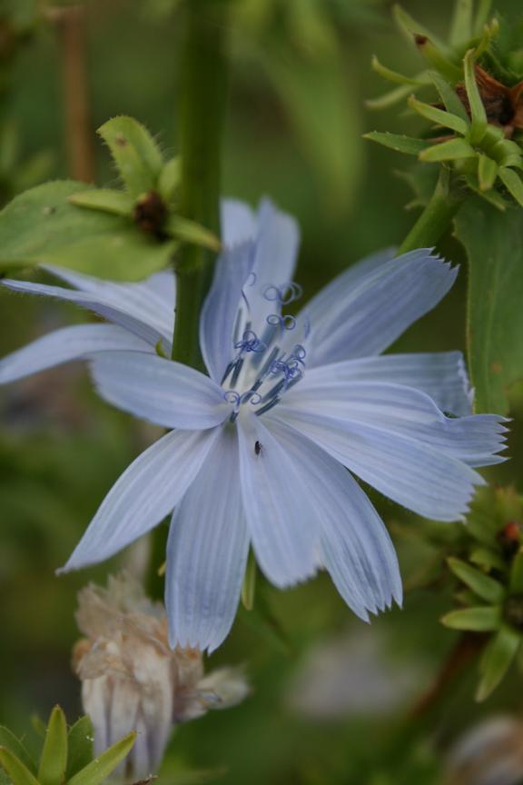 fleurbleue1.jpg