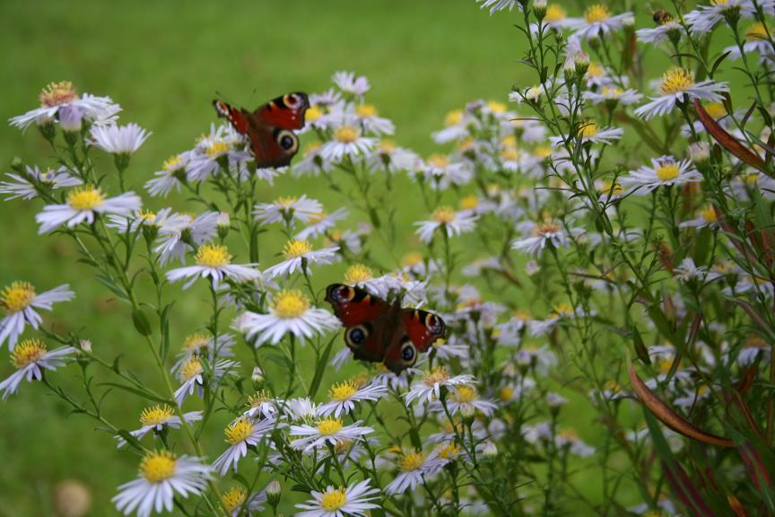 papillon4.jpg
